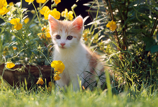 CAT 03 SS0007 01 © Kimball Stock Orange And White Tabby Kitten Sitting On Grass By Yellow Flowers