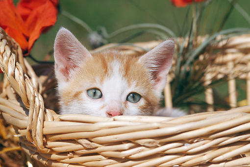 CAT 03 SS0008 01 © Kimball Stock Orange And White Tabby Kitten Peeking Out Of Wicker Basket