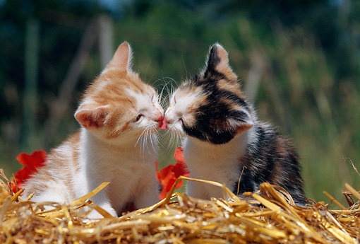 CAT 03 SS0010 01 © Kimball Stock Orange And White Tabby And Calico Kittens Sitting On Straw Kissing