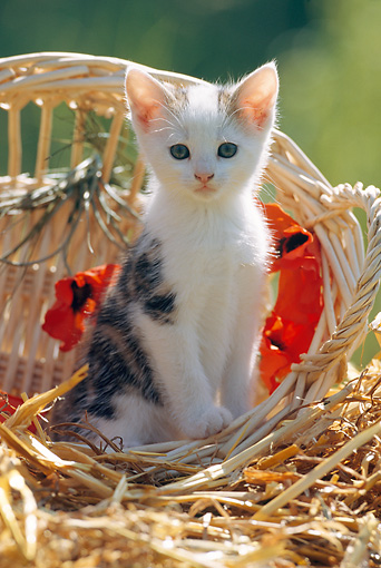 CAT 03 SS0011 01 © Kimball Stock Calico Tabby Kitten Sitting In Wicker Basket On Straw