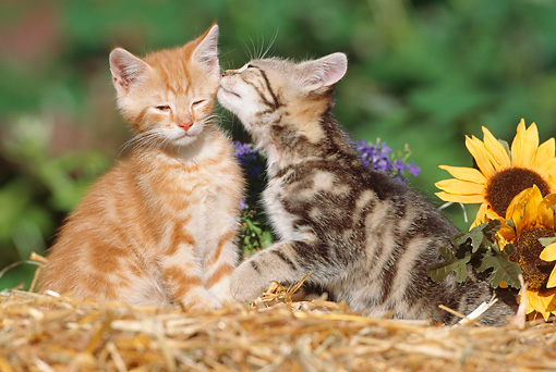 CAT 03 SS0019 01 © Kimball Stock Two Tabby Kittens Sitting On Straw Sniffing