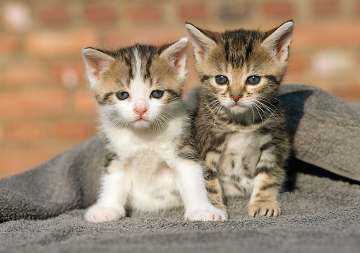 CAT 03 SS0020 01 © Kimball Stock Two Tabby Kittens Sitting On Gray Cloth