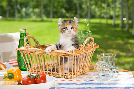 CAT 03 YT0001 01 © Kimball Stock American Curl Kitten Sitting In Wicker Basket On Picnic Table