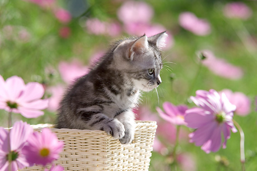 CAT 03 YT0003 01 © Kimball Stock American Shorthair Kitten Sitting In Basket By Pink Flowers