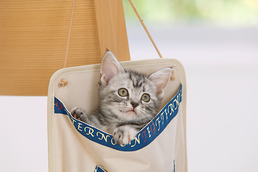 CAT 03 YT0004 01 © Kimball Stock American Shorthair Kitten Peeking Out Of Bag Hanging On Chair