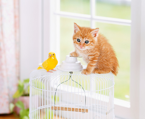 CAT 03 YT0007 01 © Kimball Stock Orange Tabby Kitten Sitting On White Birdcage With Canary