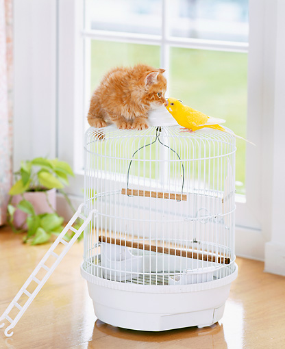 CAT 03 YT0008 01 © Kimball Stock Orange Tabby Kitten Sitting On White Birdcage Kissing Canary