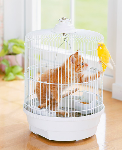CAT 03 YT0009 01 © Kimball Stock Orange Tabby Kitten Standing Inside White Birdcage Looking At Canary