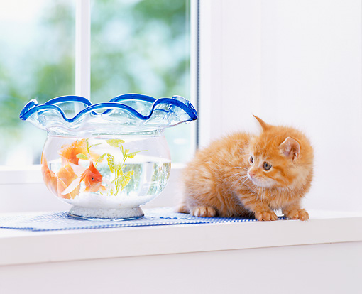 CAT 03 YT0010 01 © Kimball Stock Orange Tabby Kitten Sitting On White Shelf Looking At Goldfish In Bowl
