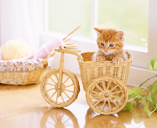 CAT 03 YT0011 01 © Kimball Stock Orange Tabby Kitten Sitting In Wicker Trike Basket