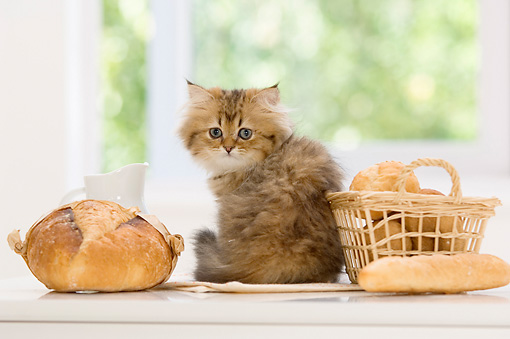 CAT 03 YT0016 01 © Kimball Stock Persian Kitten Sitting On White Kitchen Counter By Bread Basket