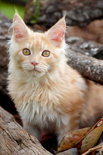 CAT 04 AB0001 01 © Kimball Stock Portrait Of Red And Tabby Maine Coon Sitting By Log