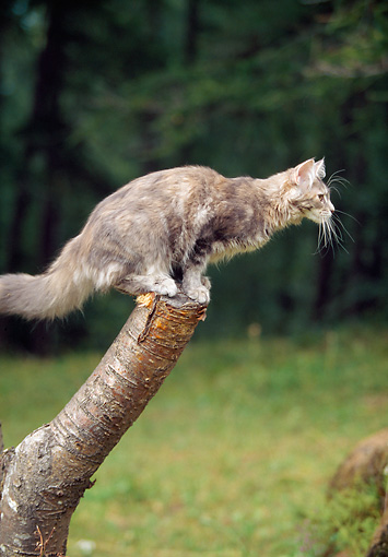 CAT 04 AB0003 01 © Kimball Stock Maine Coon Standing On Tree Stump