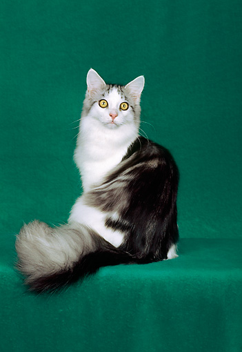CAT 04 CH0002 01 © Kimball Stock Maine Coon Sitting In Green Studio