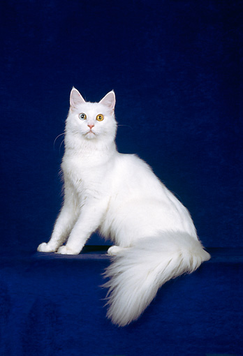 CAT 04 CH0003 01 © Kimball Stock White Maine Coon With Heterochromia Sitting In Blue Studio