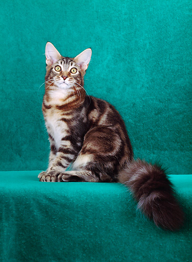 CAT 04 CH0004 01 © Kimball Stock Maine Coon Brown Classic Tabby Sitting In Green Studio