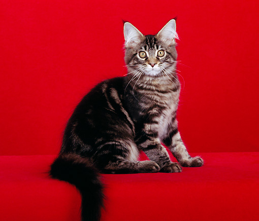 CAT 04 CH0005 01 © Kimball Stock Maine Coon Brown Classic Tabby Sitting In Red Studio