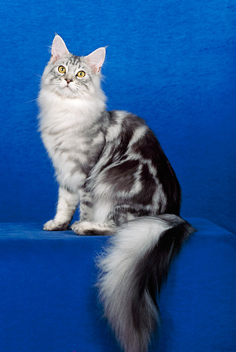 CAT 04 CH0006 01 © Kimball Stock Maine Coon Blue Silver Classic Tabby Sitting In Blue Studio