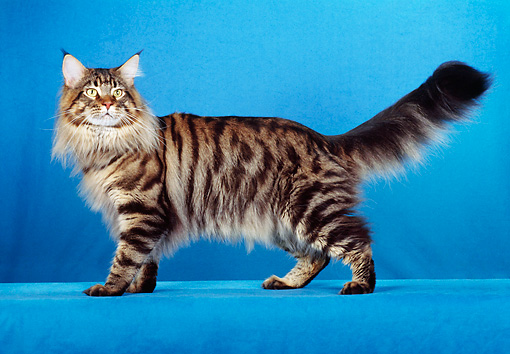 CAT 04 CH0007 01 © Kimball Stock Maine Coon Brown Mackerel Tabby Standing In Blue Studio
