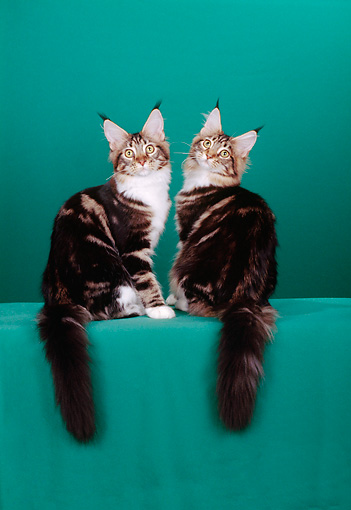 CAT 04 CH0008 01 © Kimball Stock Two Maine Coon Brown, Classic And White Kittens Sitting In Green Studio