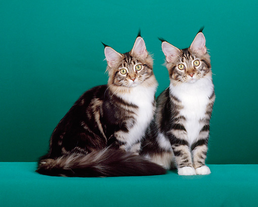 CAT 04 CH0009 01 © Kimball Stock Two Maine Coon Brown, Classic And White Kittens Sitting In Green Studio