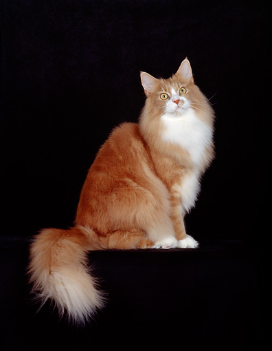 CAT 04 CH0011 01 © Kimball Stock Maine Coon Red, Classic And White Cat In Black Studio