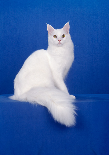 CAT 04 CH0012 01 © Kimball Stock White Maine Coon Sitting In Blue Studio