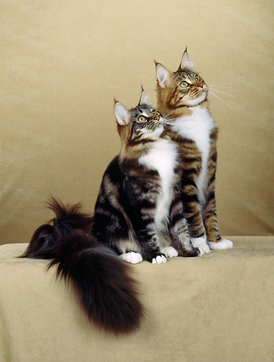 CAT 04 CH0013 01 © Kimball Stock Two Maine Coon Brown, Classic, Tabby And White Cats Sitting In Beige Studio