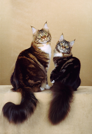CAT 04 CH0014 01 © Kimball Stock Two Maine Coon Brown, Classic, Tabby And White Cats Sitting In Beige Studio