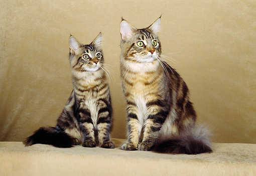 CAT 04 CH0015 01 © Kimball Stock Maine Coon Brown Classic Tabby And Kitten Sitting In Beige Studio