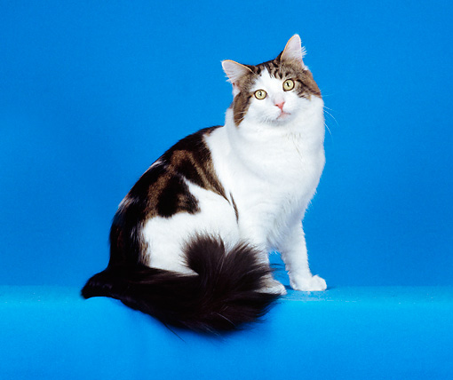 CAT 04 CH0017 01 © Kimball Stock Maine Coon Brown, Classic, Tabby And White Sitting In Blue Studio