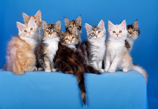 CAT 04 CH0018 01 © Kimball Stock Variety Of Maine Coon Kittens Sitting In Blue Studio