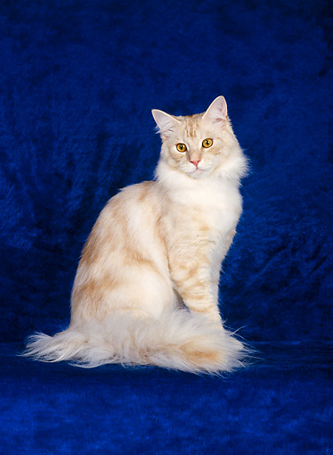 CAT 04 CH0020 01 © Kimball Stock Maine Coon Red Silver Classic Tabby Sitting In Blue Studio