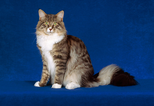 CAT 04 CH0021 01 © Kimball Stock Maine Coon Blue, Mackerel And White Tabby Sitting In Blue Studio