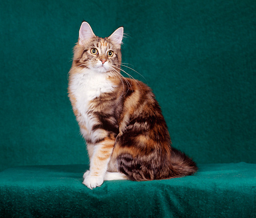 CAT 04 CH0023 01 © Kimball Stock Maine Coon Brown, Torbie And White Cat Sitting In Green Studio