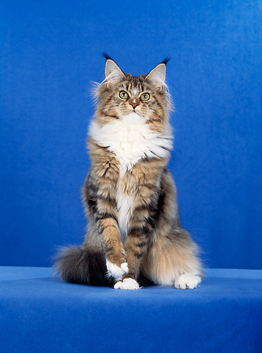 CAT 04 CH0027 01 © Kimball Stock Maine Coon Brown, Classic And White Sitting In Blue Studio