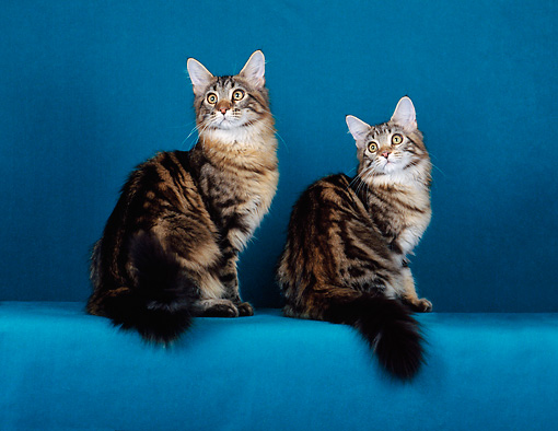 CAT 04 CH0028 01 © Kimball Stock Two Maine Coon Brown And Classic Tabbys Sitting In Teal Studio