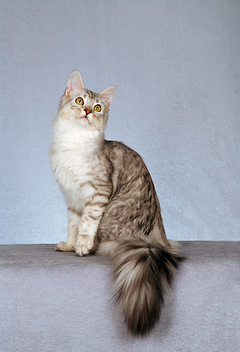 CAT 04 CH0030 01 © Kimball Stock Maine Coon Shaded Silver Sitting In Studio