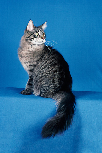 CAT 04 CH0031 01 © Kimball Stock Maine Coon Brown Mackerel Tabby Sitting In Blue Studio
