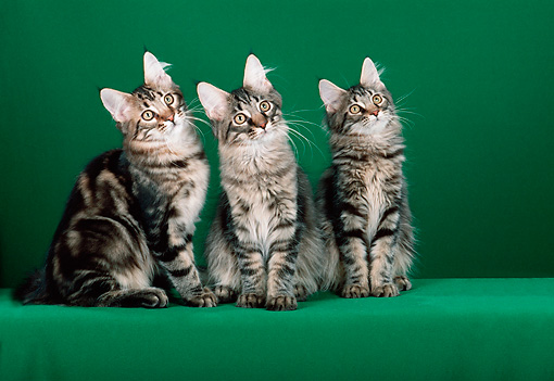 CAT 04 CH0032 01 © Kimball Stock Maine Coon Brown Mackerel Tabby And Two Classic Sitting In Green Studio