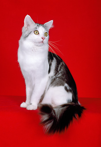 CAT 04 CH0033 01 © Kimball Stock Maine Coon Silver, Classic And White Tabby Sitting In Red Studio