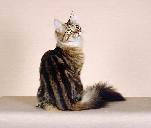 CAT 04 CH0034 01 © Kimball Stock Maine Coon Brown Classic Tabby Sitting In Studio