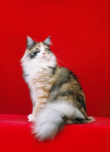 CAT 04 CH0035 01 © Kimball Stock Maine Coon Smoke Calico Sitting In Red Studio