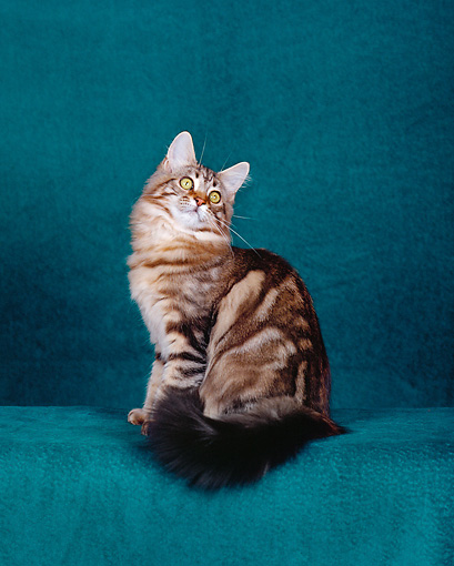 CAT 04 CH0036 01 © Kimball Stock Maine Coon Brown Classic Tabby Sitting In Green Studio