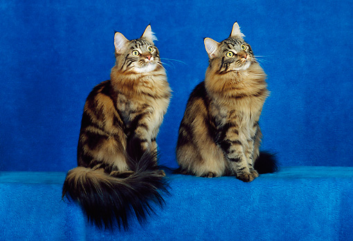 CAT 04 CH0040 01 © Kimball Stock Two Maine Coon Brown Classic Tabbys Sitting In Blue Studio