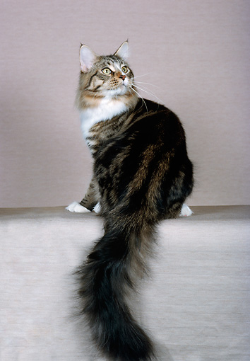 CAT 04 CH0041 01 © Kimball Stock Maine Coon Brown Classic White Tabby Sitting In Studio