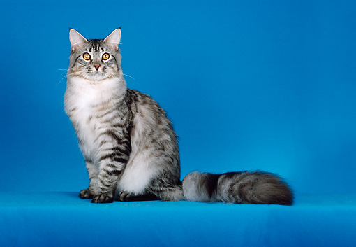 CAT 04 CH0042 01 © Kimball Stock Maine Coon Silver Mackerel Tabby Sitting In Blue Studio