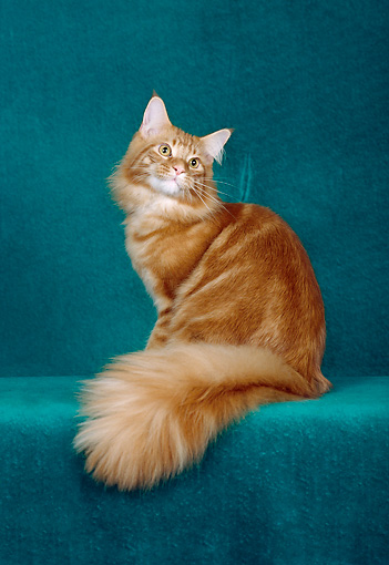 CAT 04 CH0045 01 © Kimball Stock Maine Coon Red Classic Tabby Sitting In Green Studio