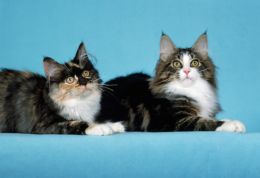 CAT 04 CH0046 01 © Kimball Stock Maine Coon Tortie And White, Tabby And Smoke Laying In Light Blue Studio