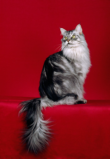 CAT 04 CH0047 01 © Kimball Stock Maine Coon Silver Classic Tabby Sitting In Red Studio
